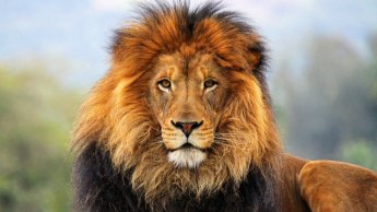 Heybetli_aslan